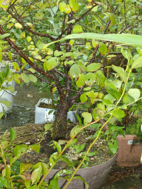 ブルーベリーの矮性品種の接ぎ木について(1)_f0018078_17434188.jpg