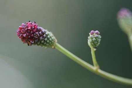 ワレモコウ2種と、今日の蝶写真_f0030085_13115349.jpg