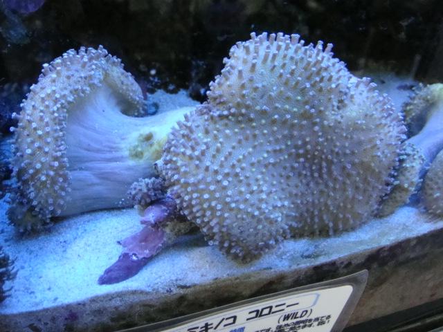 海水魚・サンゴ_f0189122_15101876.jpg