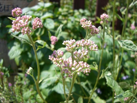 マイガーデンの花ー1_f0184939_21295899.jpg