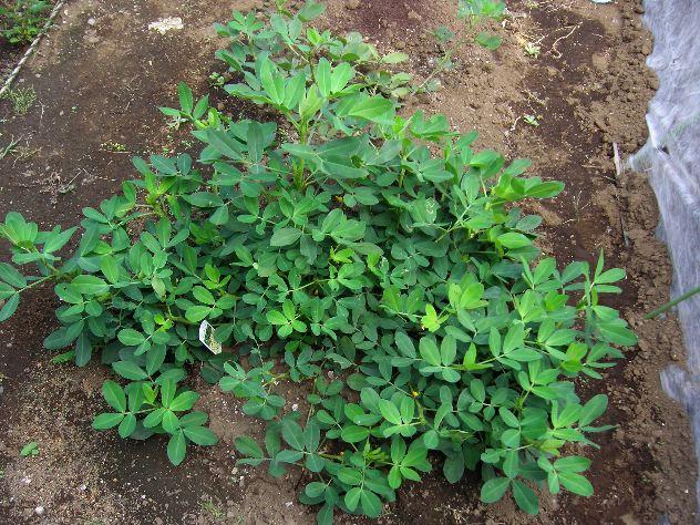 まだ茄子を収穫しています_c0053863_17301583.jpg