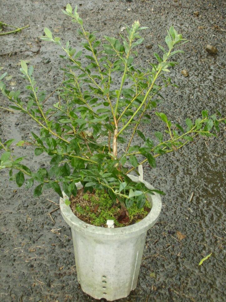 ブルーベリーの矮性品種の接ぎ木について(2)_f0018078_1525249.jpg