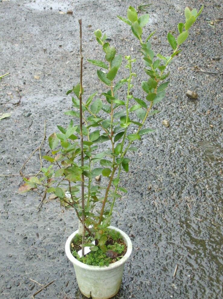 ブルーベリーの矮性品種の接ぎ木について(2)_f0018078_1531652.jpg
