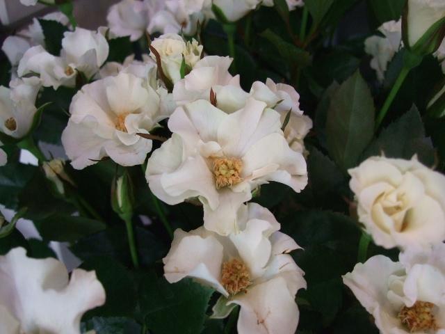 オークリーフ(ボルドー色の花)_f0049672_1575957.jpg