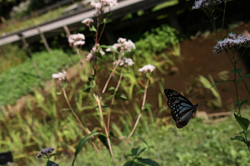 2008年10月上旬 多摩丘陵秋の蝶 お客さん_d0054625_20541264.jpg