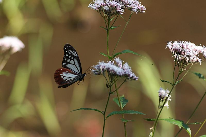 2008年10月上旬 多摩丘陵秋の蝶 お客さん_d0054625_20554335.jpg
