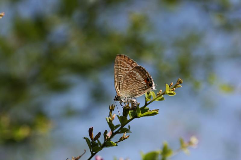 2008年10月上旬 多摩丘陵秋の蝶 お客さん_d0054625_21302424.jpg
