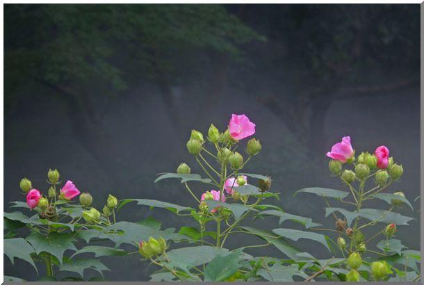 薊(アザミ)と芙蓉(三渓園)_d0123528_1639871.jpg