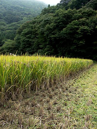 古代米の稲刈り_c0176838_15454172.jpg