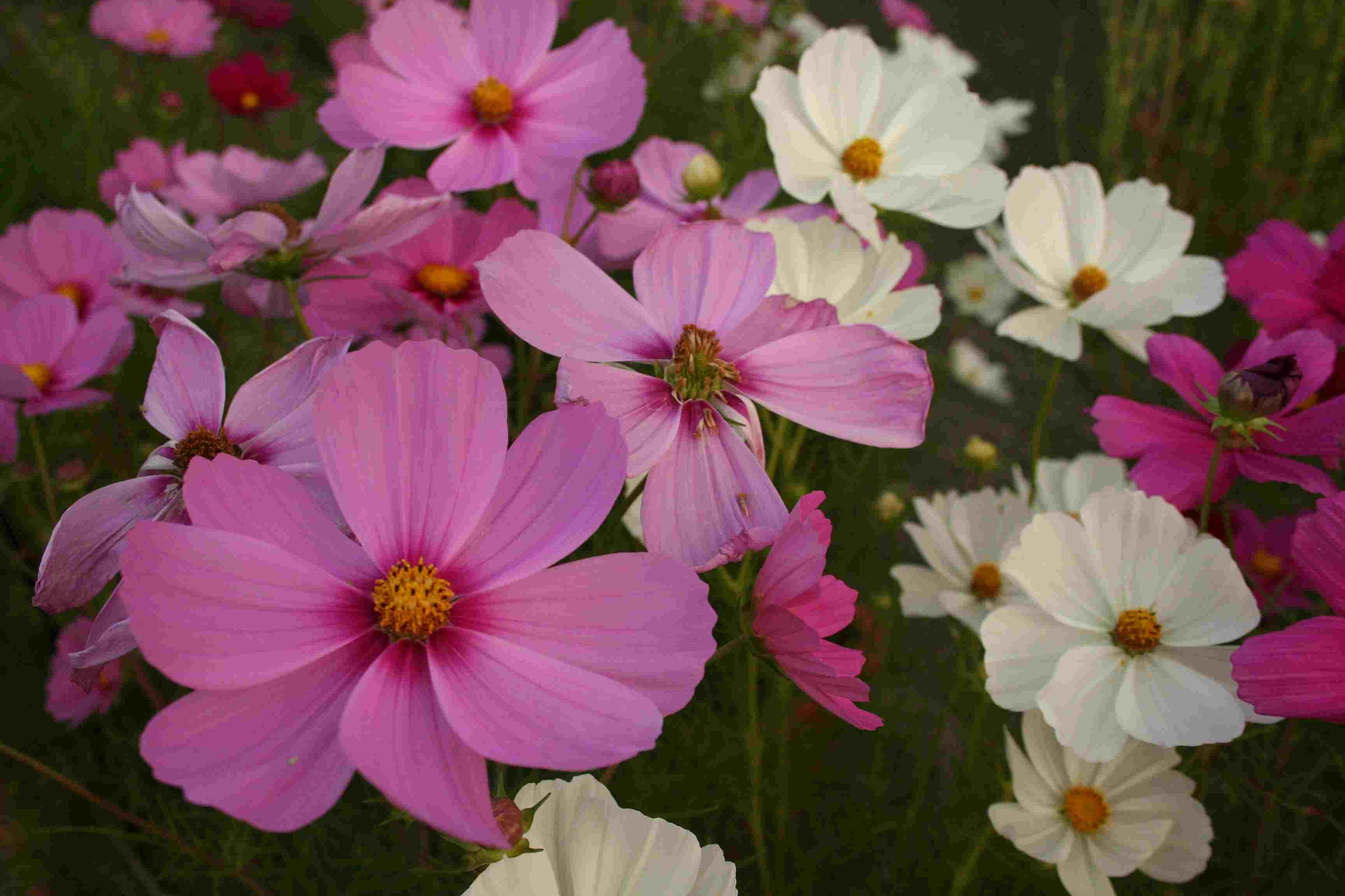京都府立植物園 秋の花 きのこ展_c0100195_10341896.jpg