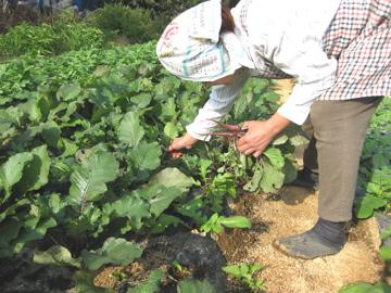 小林、秋野菜を収穫!_c0130206_23215491.jpg