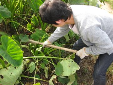 小林、秋野菜を収穫!_c0130206_23292217.jpg