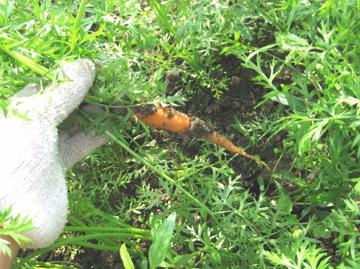 小林、秋野菜を収穫!_c0130206_23333133.jpg