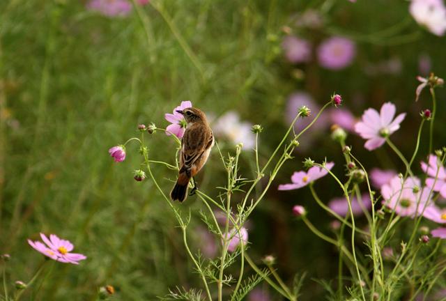 コスモスの花にノビタキ_d0074828_2326411.jpg