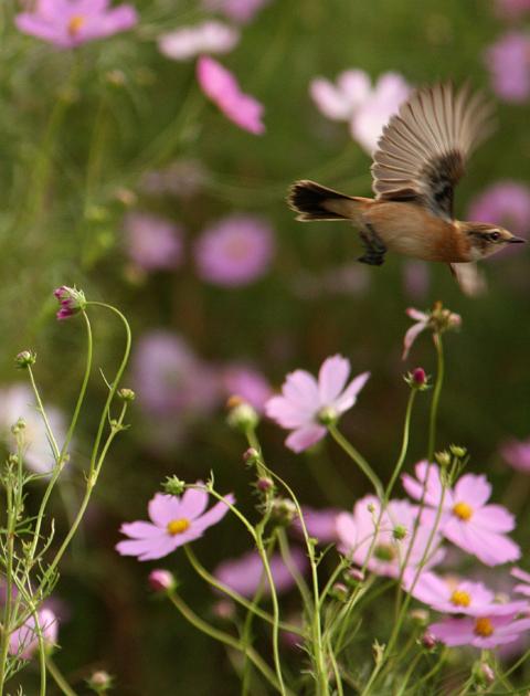 コスモスの花にノビタキ_d0074828_2328848.jpg