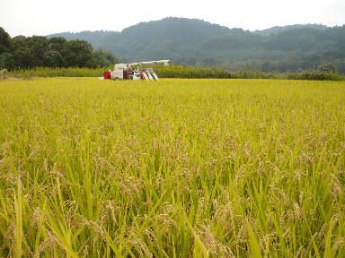 稲刈りに行ってきました。(茨城 木内酒造)_f0193752_2412825.jpg