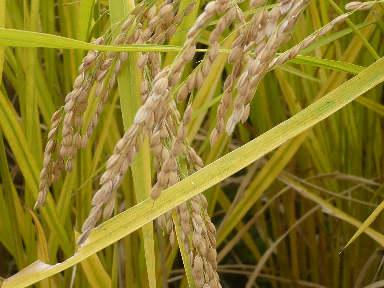 稲刈りに行ってきました。(茨城 木内酒造)_f0193752_242049.jpg