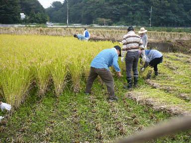 稲刈りに行ってきました。(茨城 木内酒造)_f0193752_2432254.jpg