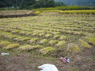 稲刈りに行ってきました。(茨城 木内酒造)_f0193752_245767.jpg