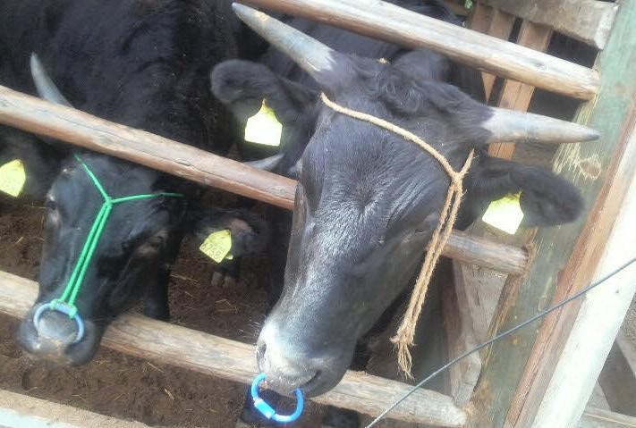 牛のいる光景_d0085096_17573522.jpg