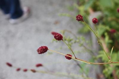 アザミ と 吾亦紅  <湿生花園>_c0118352_0424447.jpg