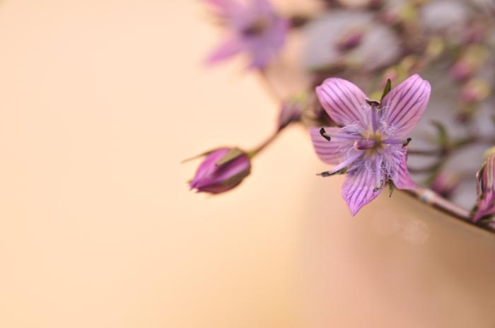 イブニングスター 紫