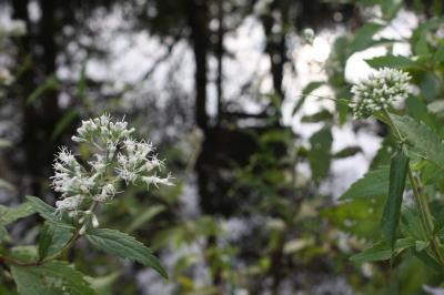 沢桔梗とヒヨドリバナ  <湿生花園>_c0118352_230176.jpg