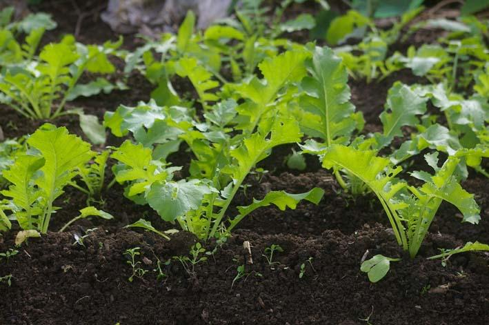 ダイコンの葉の緑に心癒される!(2008・10・9)_c0014967_17563965.jpg