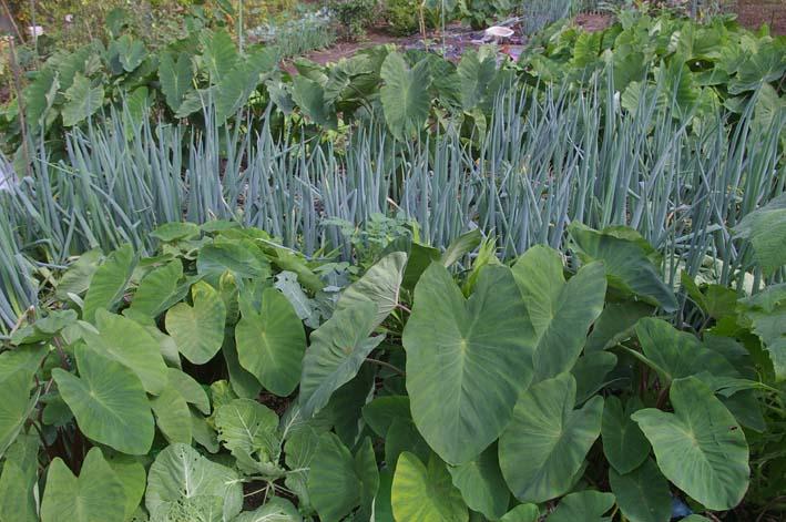 ダイコンの葉の緑に心癒される!(2008・10・9)_c0014967_181160.jpg