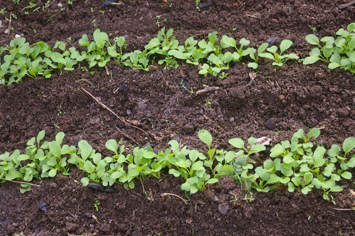 ダイコンの葉の緑に心癒される!(2008・10・9)_c0014967_1851747.jpg