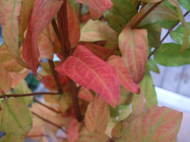 オークリーフ(紅葉実物狩りにいらっしゃいませんか?)_f0049672_1512143.jpg