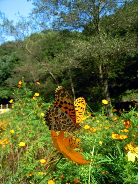 2008年10月上旬 多摩丘陵秋の蝶 常連さん_d0054625_13281924.jpg