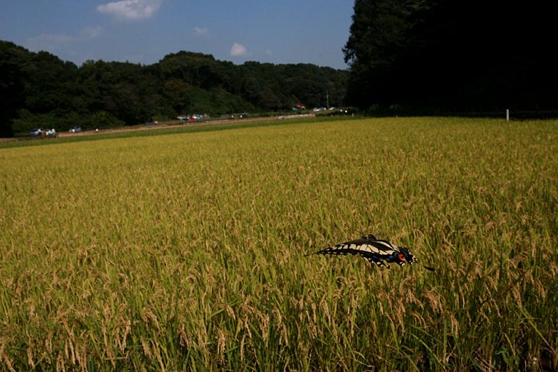 2008年10月上旬 多摩丘陵秋の蝶 常連さん_d0054625_13341897.jpg