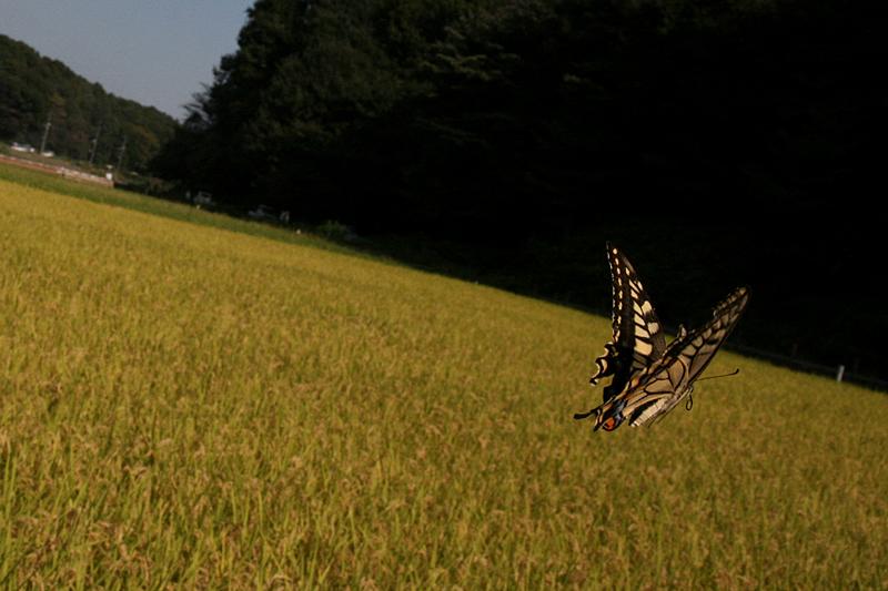 2008年10月上旬 多摩丘陵秋の蝶 常連さん_d0054625_13343567.jpg