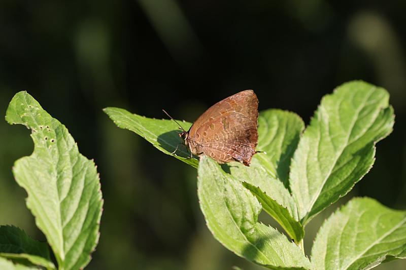 2008年10月上旬 多摩丘陵秋の蝶 常連さん_d0054625_13413489.jpg