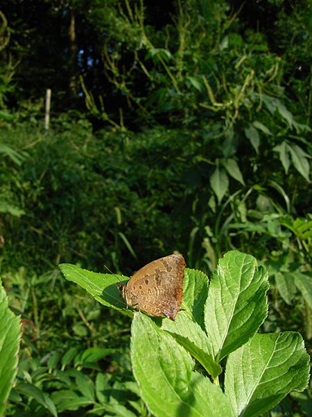 2008年10月上旬 多摩丘陵秋の蝶 常連さん_d0054625_13424935.jpg
