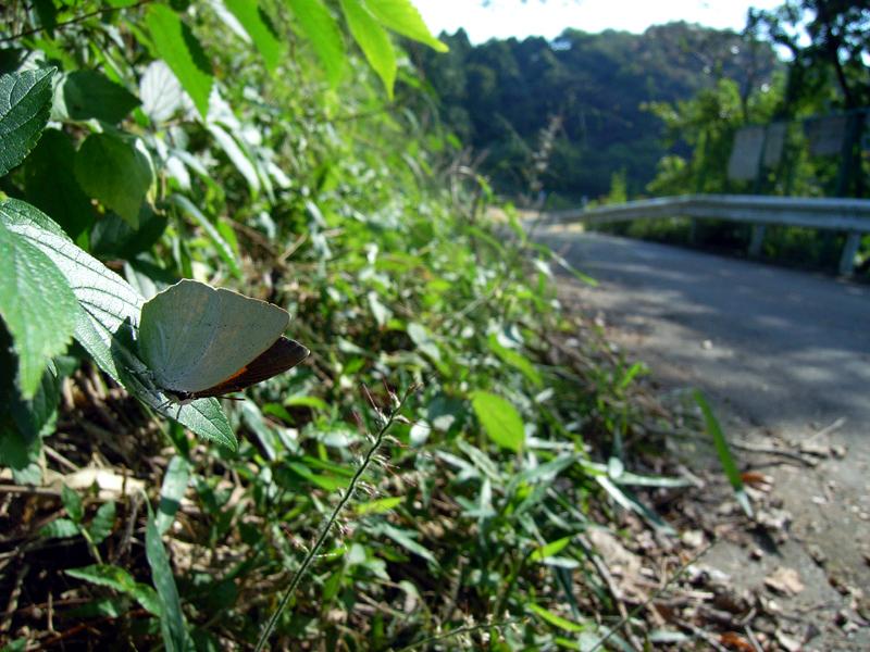 2008年10月上旬 多摩丘陵秋の蝶 常連さん_d0054625_1346167.jpg