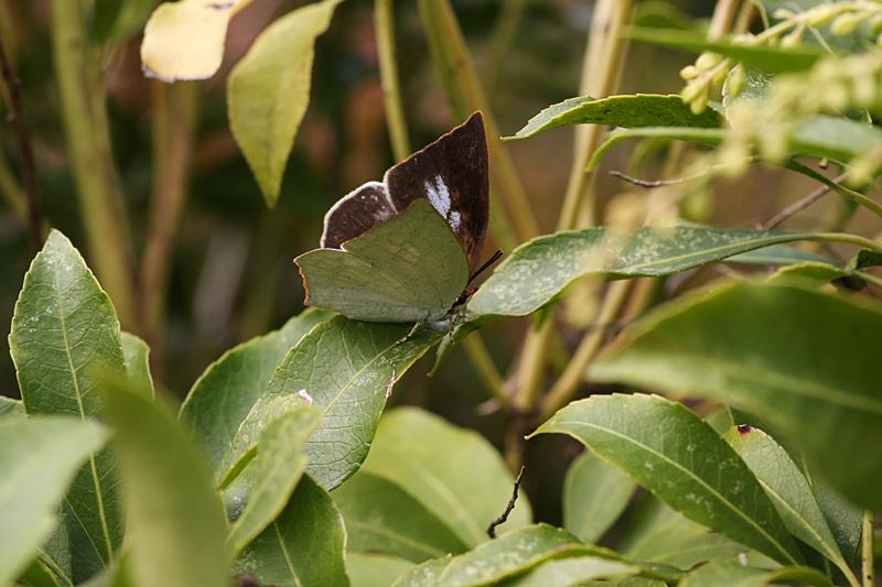 2008年10月上旬 多摩丘陵秋の蝶 常連さん_d0054625_13482690.jpg