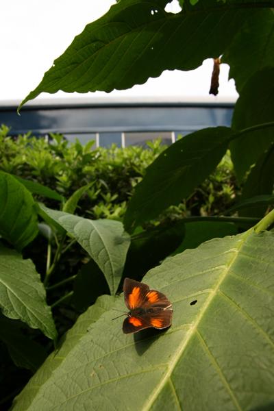 2008年10月上旬 多摩丘陵秋の蝶 常連さん_d0054625_13524730.jpg