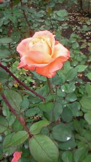 神代植物園ローズガーデン_c0157242_9383344.jpg