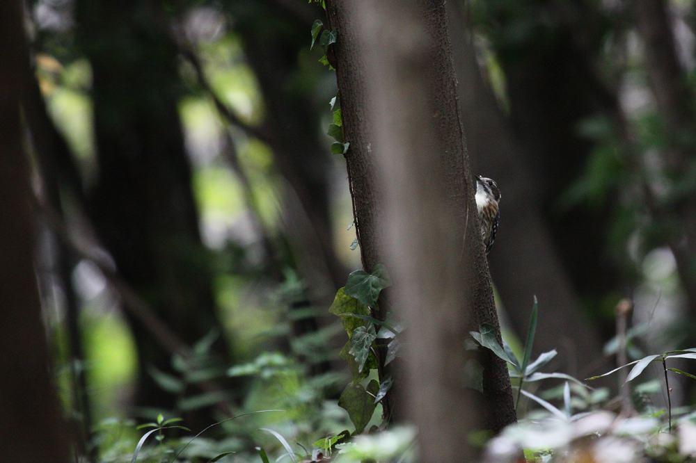 カワセミがコオロギを獲った/コゲラ_b0024798_4253531.jpg