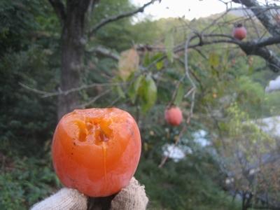 熟柿(じゅくし)の季節です_f0148649_621586.jpg