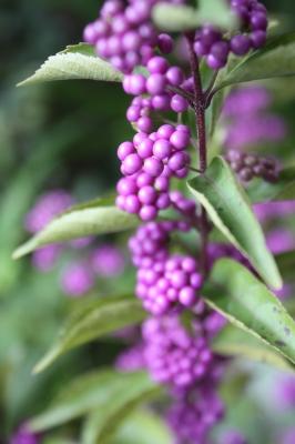 杜鵑草(ホトトギス) と 紫式部_c0118352_23262456.jpg