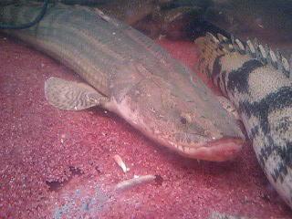 10月1日~11日までに入荷したお魚たちのご紹介です。_b0141806_154715.jpg