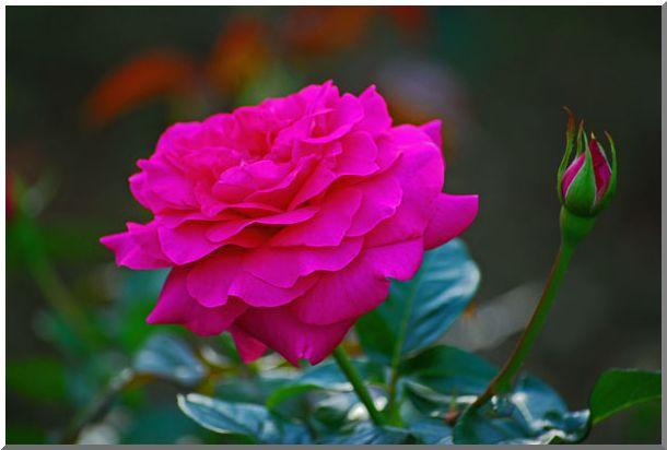 港の見える丘公園の薔薇 (Ⅰ)_d0123528_1550196.jpg