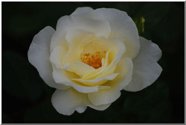 港の見える丘公園の薔薇 (Ⅰ)_d0123528_16131017.jpg