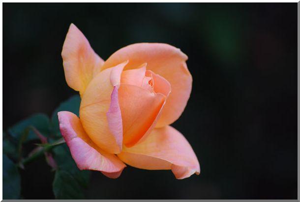 港の見える丘公園の薔薇 (Ⅰ)_d0123528_166252.jpg