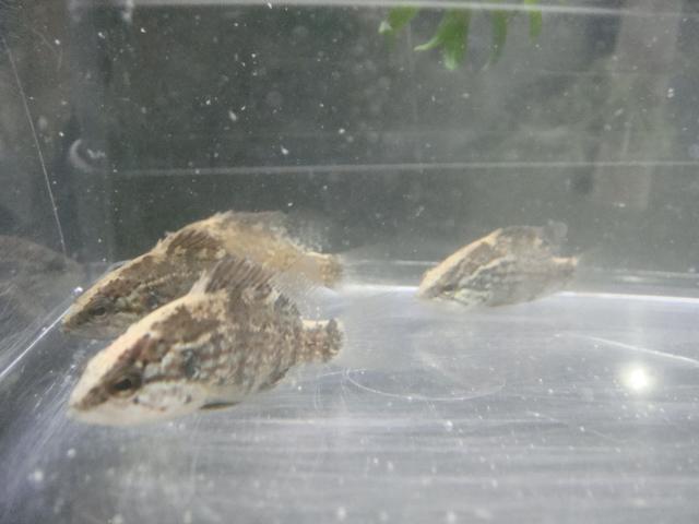 日本産淡水魚・水草_f0189122_14202979.jpg