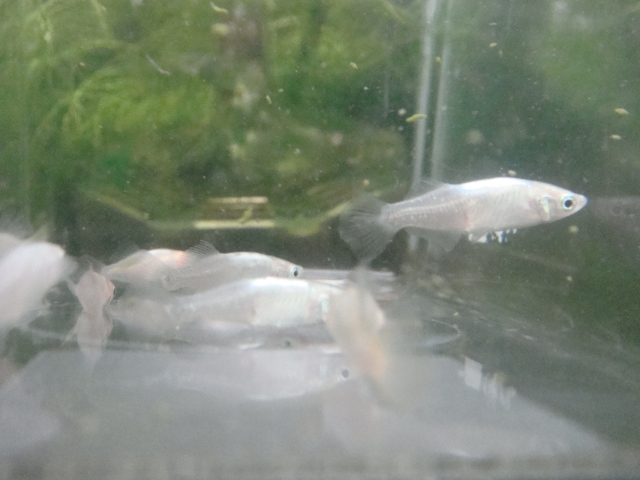 日本産淡水魚・水草_f0189122_14232719.jpg