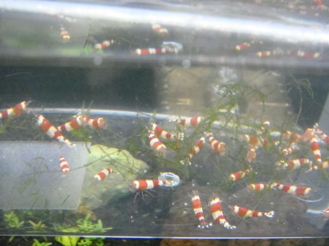 日本産淡水魚・水草_f0189122_14273232.jpg